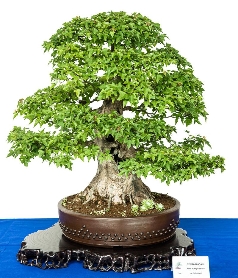 Alter Dreispitzahorn (Acer buergerianum) als Bonsai