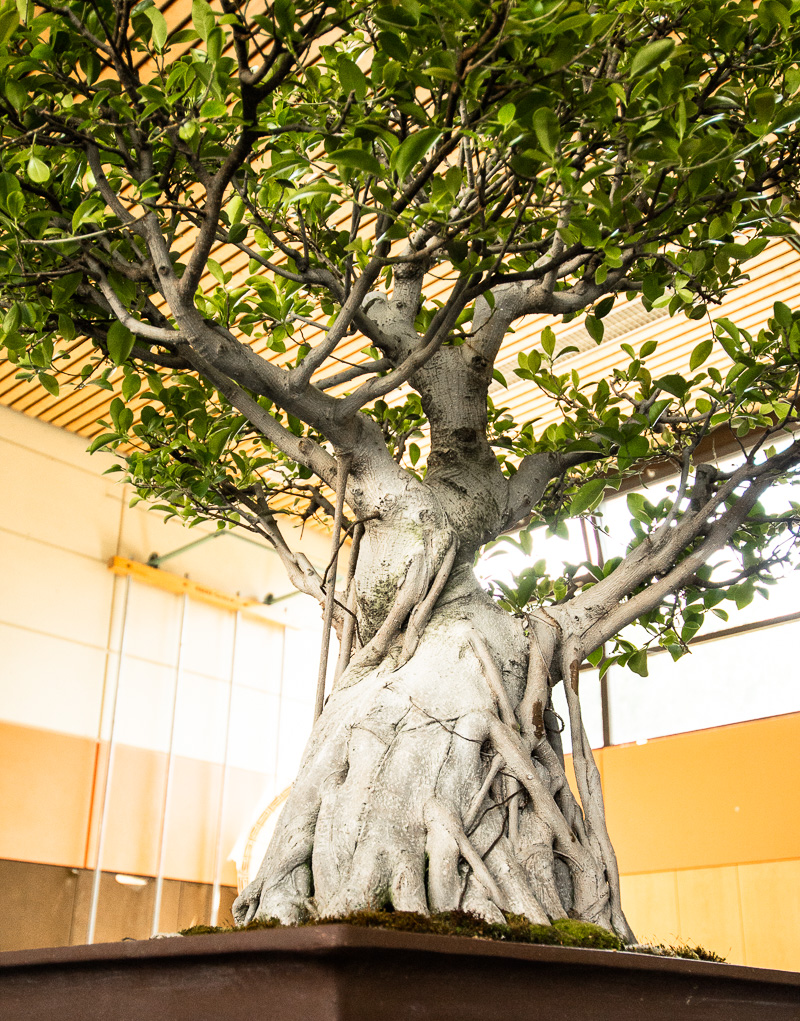 Grosser Ficus Bonsai-Baum mit Luftwurzeln