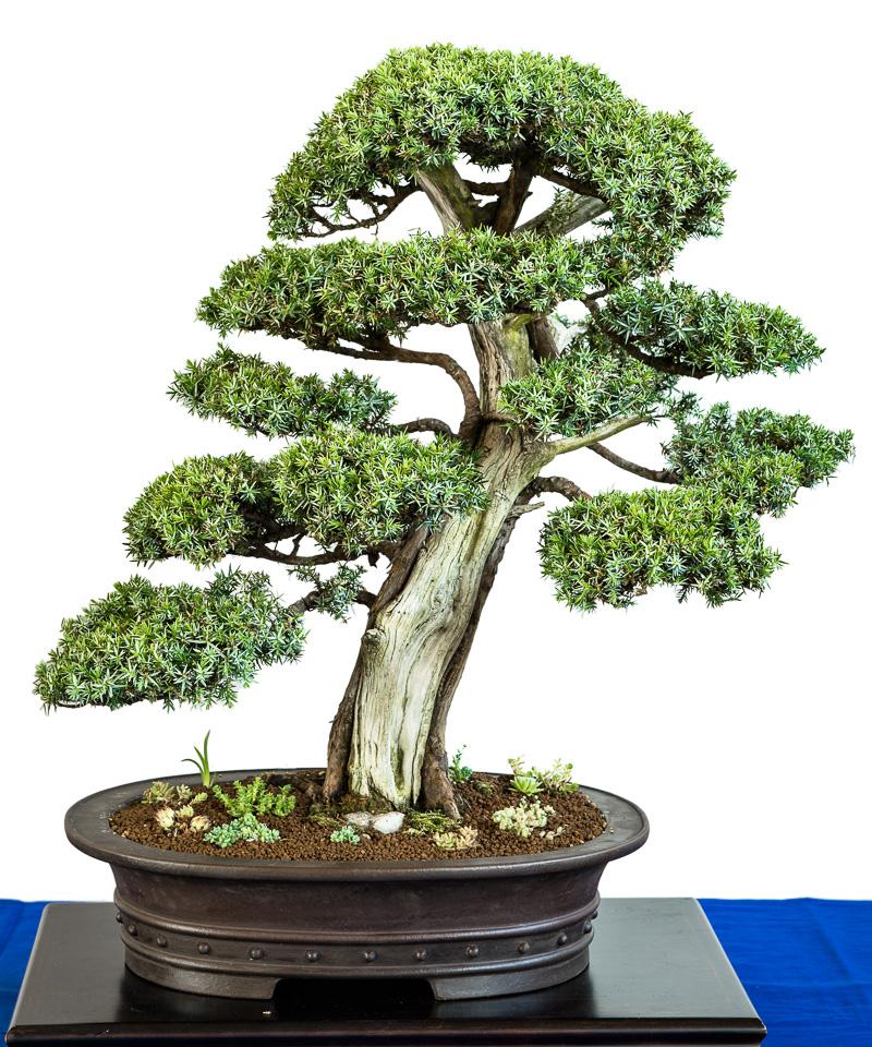 Juniper communis Blue alps Bonsai-Baum