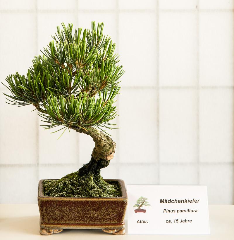 Mädchenkiefer (Pinus parviflora) Shohin-Bonsai
