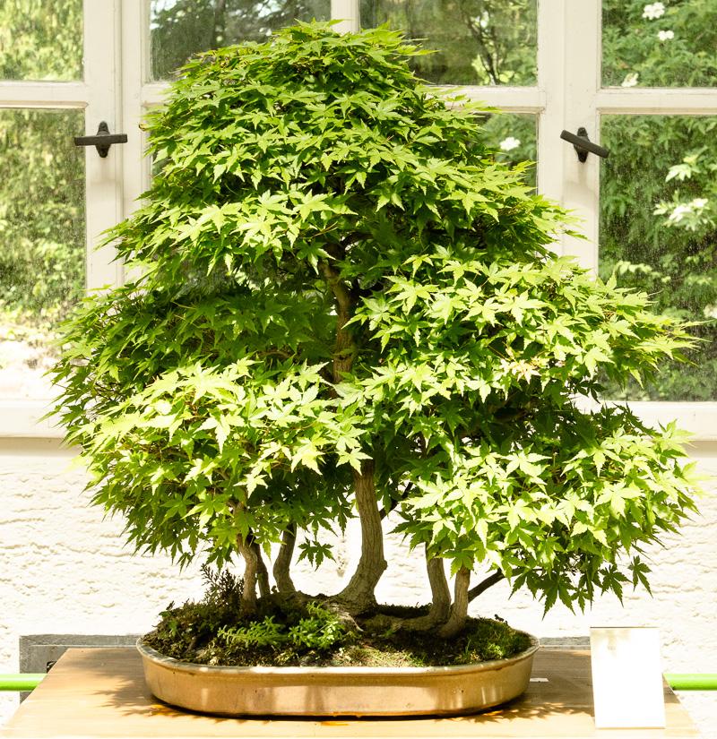 Fächerahorn-Wald (Acer palmatum)