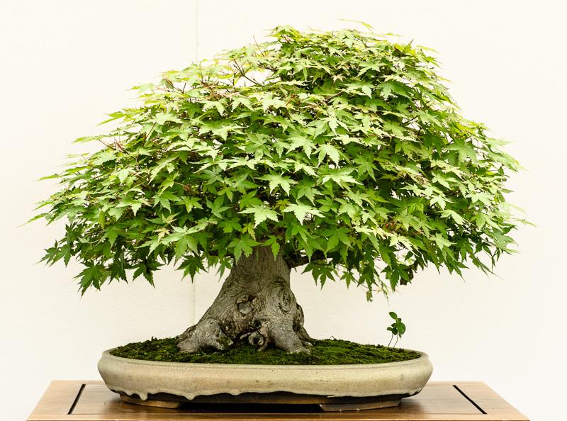 Acer palmatum spec. als Bonsai