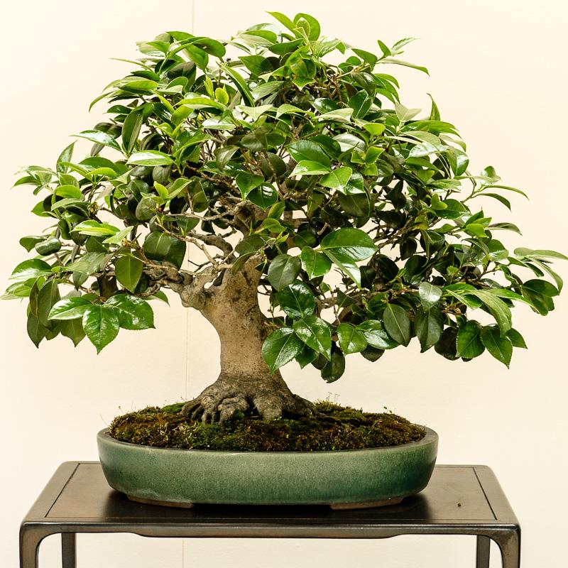 Kamelie (Camellia japonica) als Bonsai