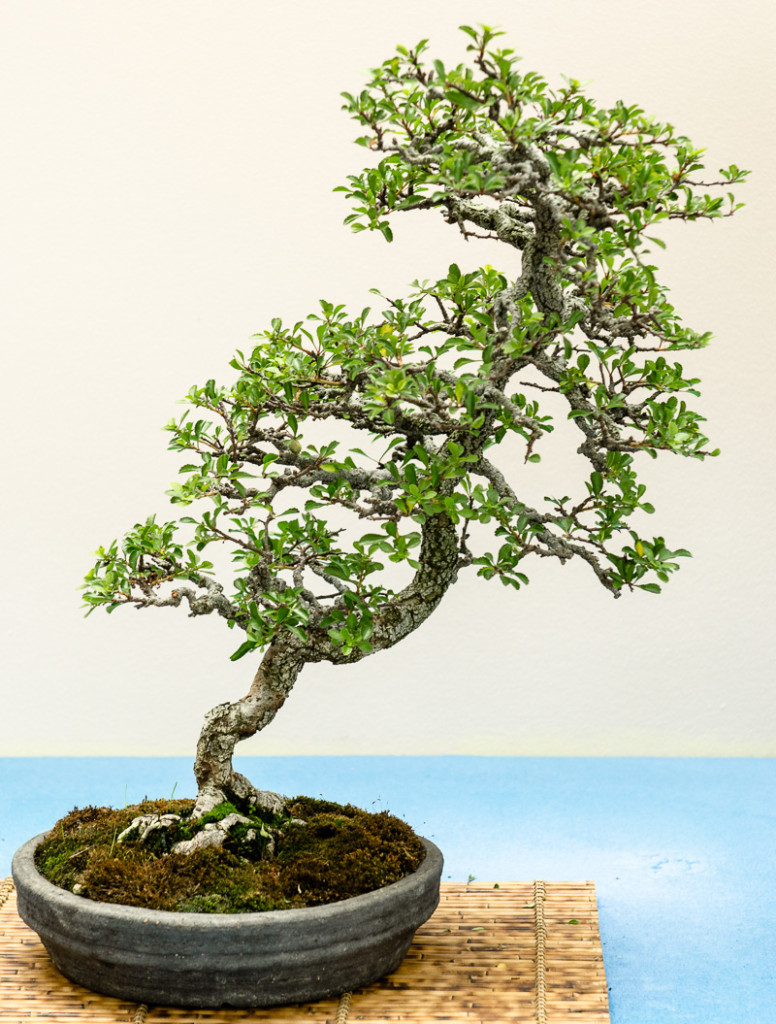 Zierquitte - Chaenomeles als Bonsai-Baum