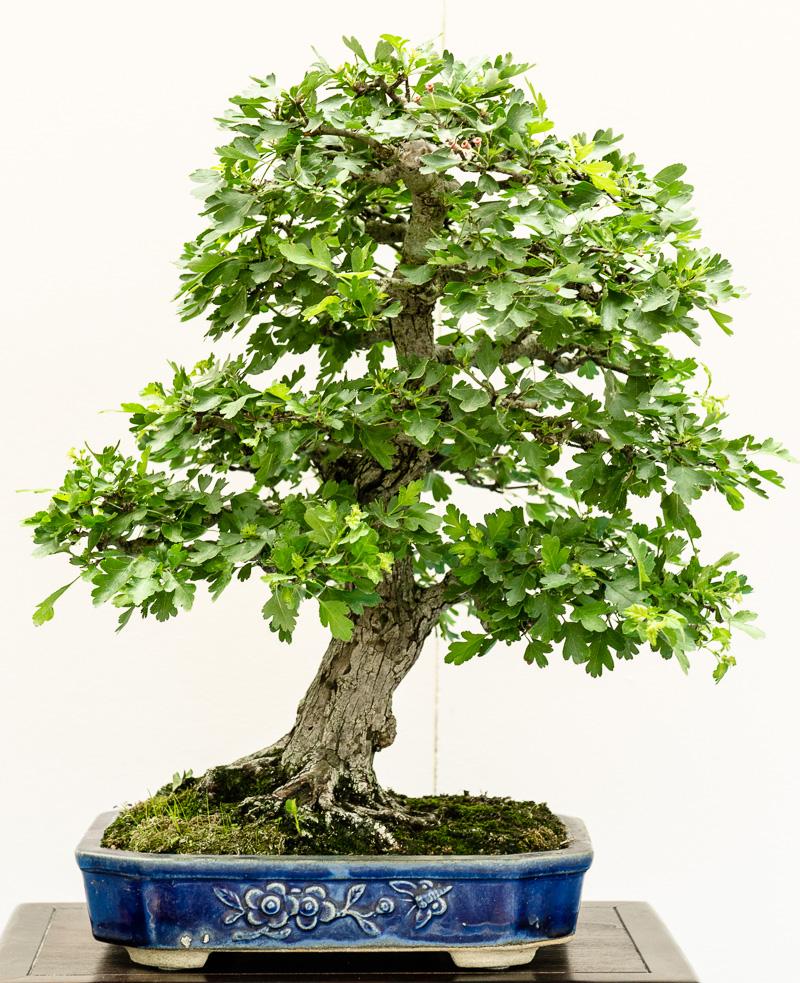 Weißdorn - Crataegus als Bonsai