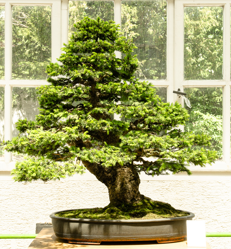 Picea abies - Gemeine Fichte als Bonsai