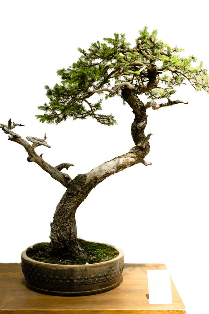 Fichte - Picea abies mit Totholz