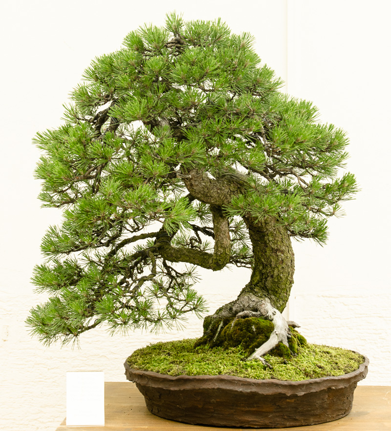Pinus mugo - Berg-Kiefer als Bonsai