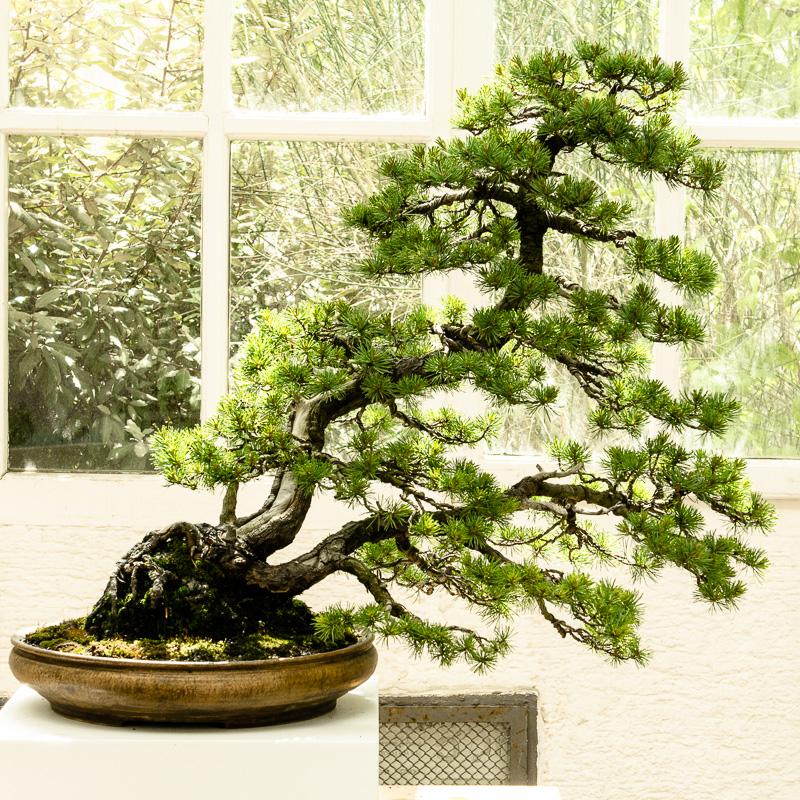 Pinus pentaphylla Bonsai von Walter Pall