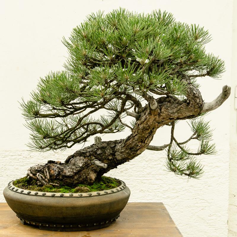 Pinus ponderosa Bonsai von Walter Pall