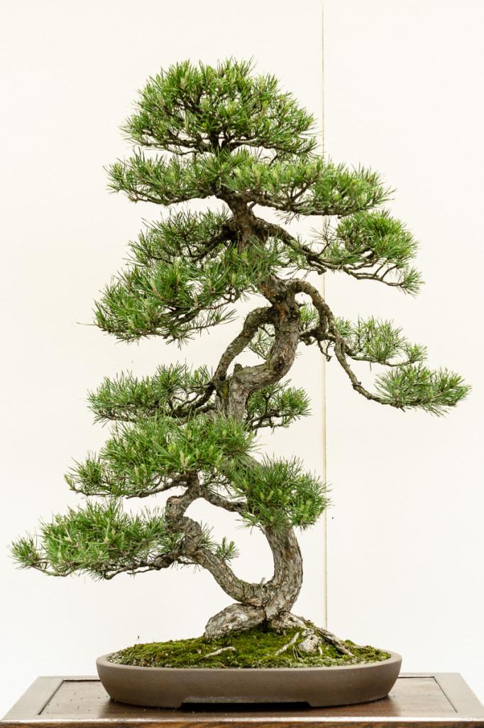 Wald-Kiefer - Pinus sylvestris als Bonsai