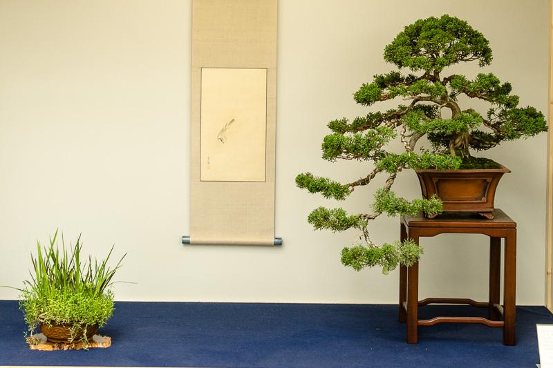 Tokonama mit Chinesischen Wacholder - Juniperus chinensis