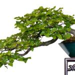 Rot-Buche (Fagus sylvatica) als Bonsai-Baum