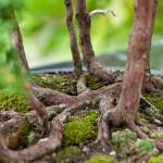 Wacholder-Wald eines Juniperus chinensis