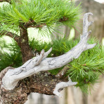 Toter Ast an einer Lärche (Larix decidua)