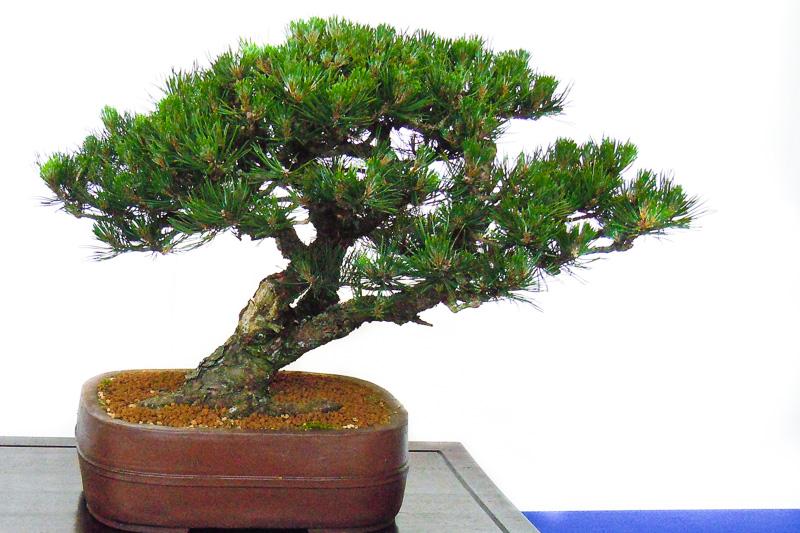 Berg-Kiefer (Pinus mugo) als Bonsai-Baum
