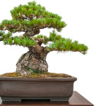 Alte Kiefer (Pinus parviflora) als Bonsai-Baum