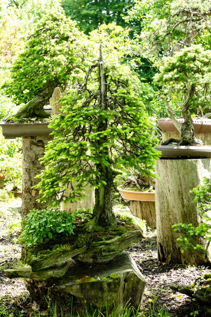 Bonsai im Garten von Walter Pall