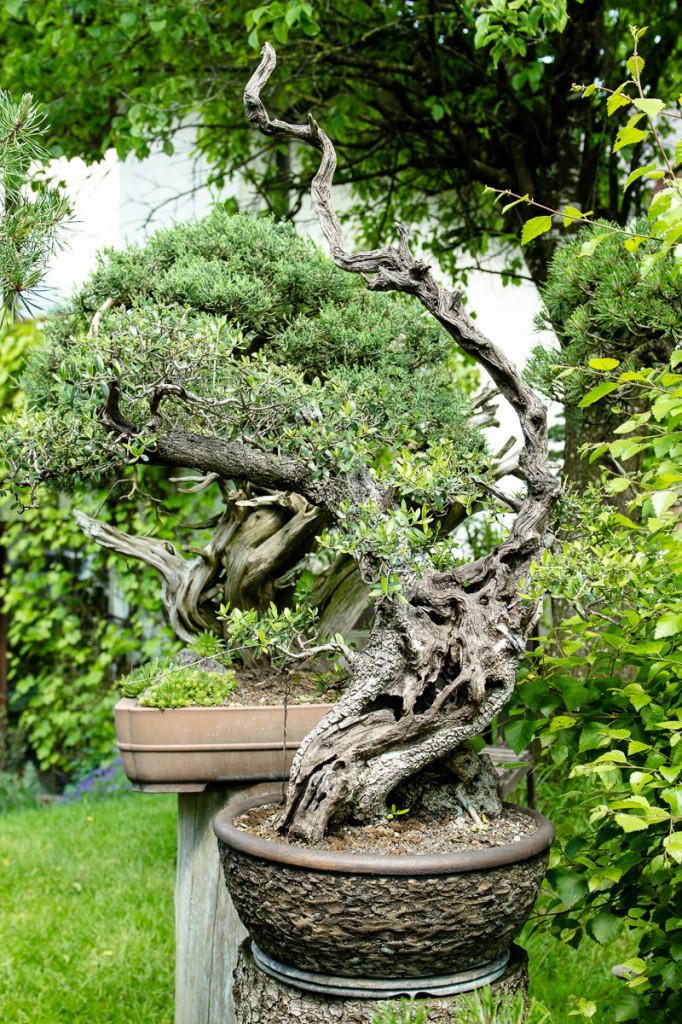 Olivenbaum mit viel Totholz