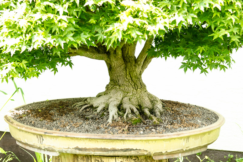 Nebari eines alten Acer palmatum