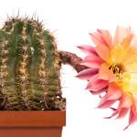 Echinopsis Hybride 244 - Herz Dame