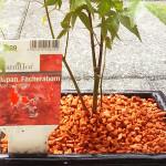 Acer palmatum von Ricardo