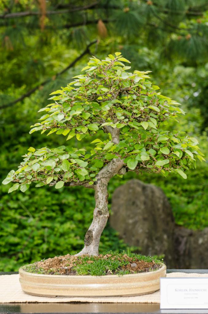 Hainbuche als Bonsai-Baum
