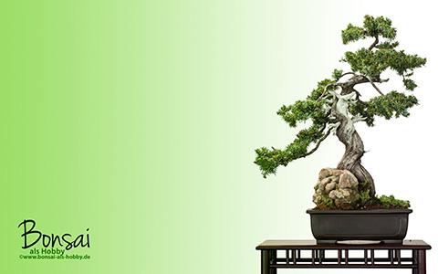 Wallpaper Igel-Wacholder (Juniperus rigida) als Bonsai