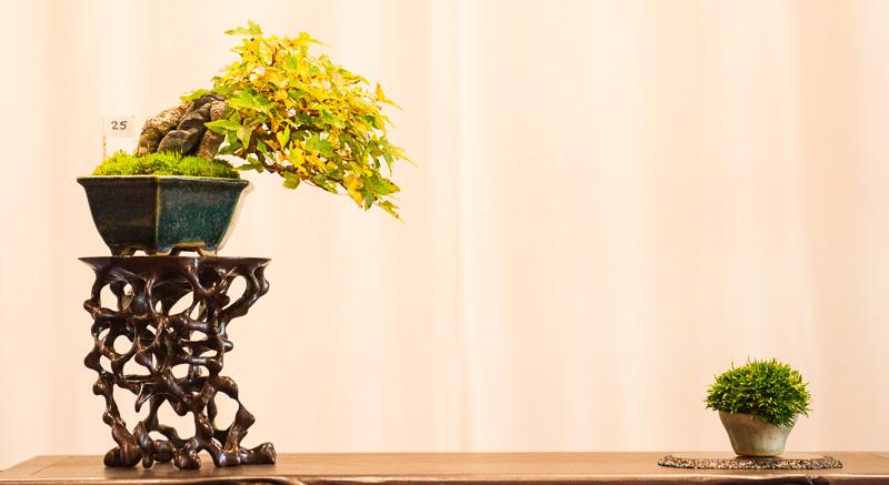 Shohin Bonsai Dreispitzahorn (Acer buergerianum)