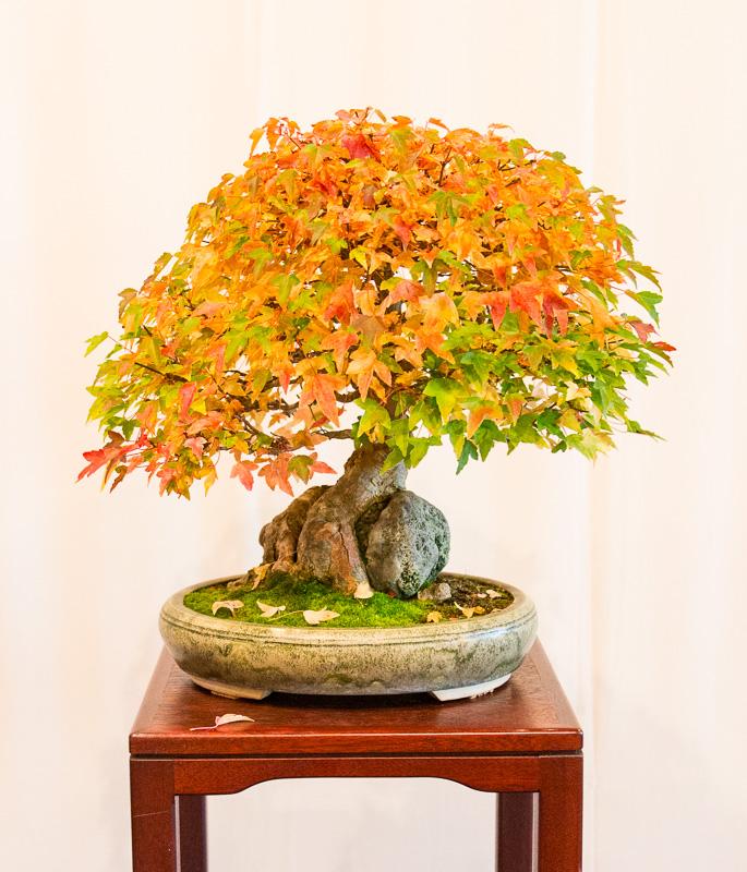 Bonsai Acer buergerianum über einen Stein