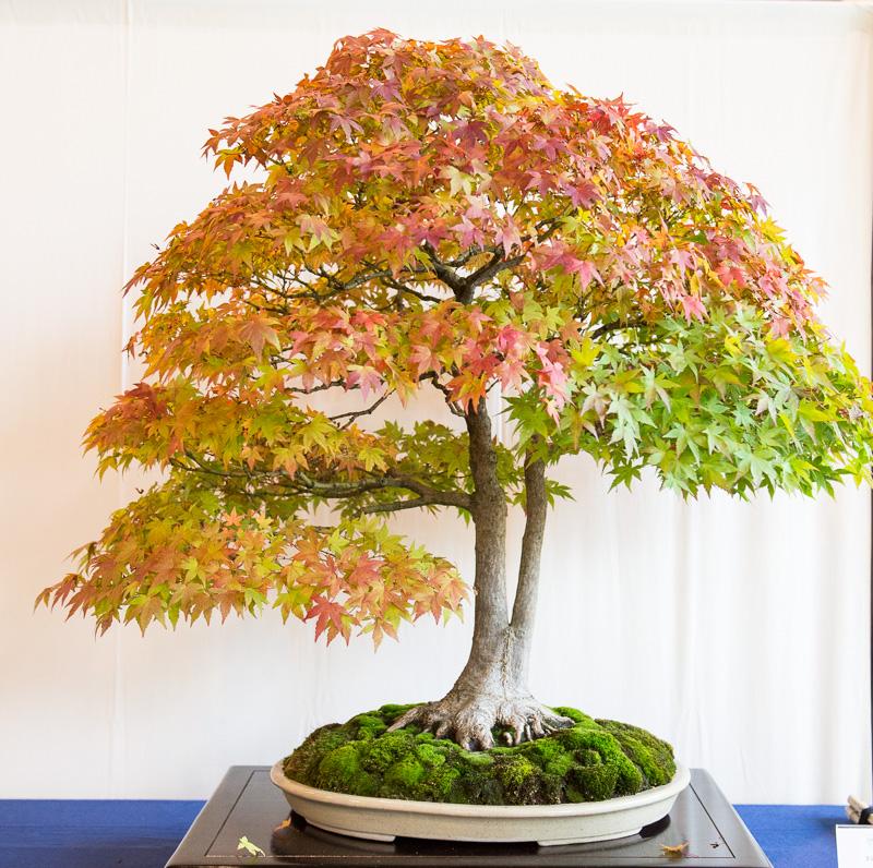 Fächerahorn (Acer palmatum)