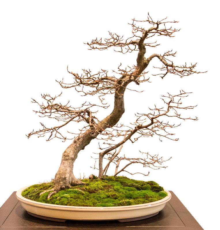 Geneigte Hainbuche (Carpinus betulus) als Bonsai