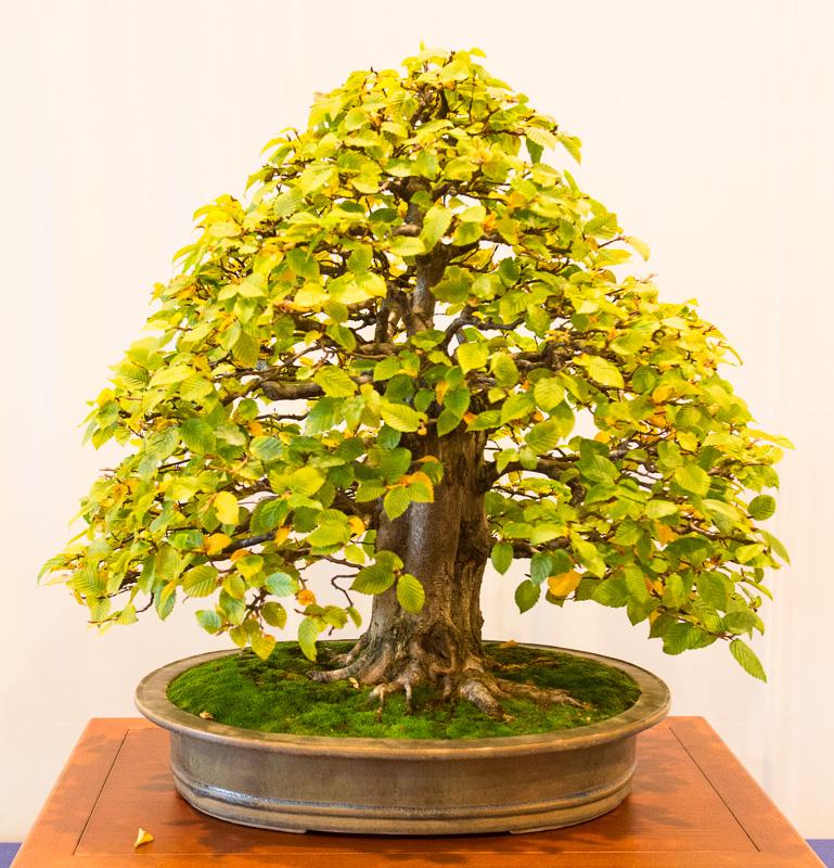Alte Hainbuche (Carpinus betulus)