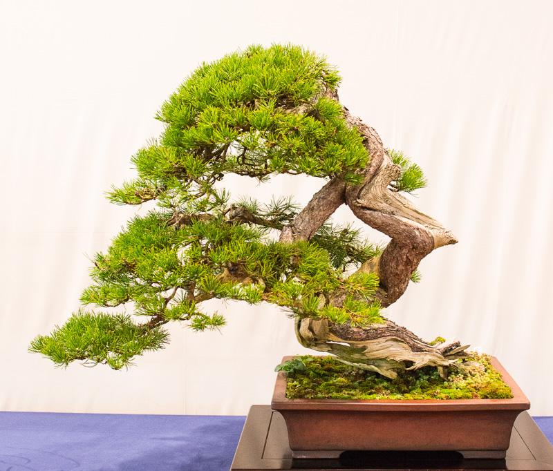 Alte Berg-Kiefer (Pinus mugo)
