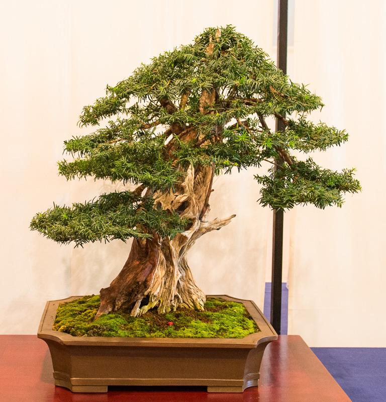 Gemeine Eibe (Taxus baccata) als Bonsai