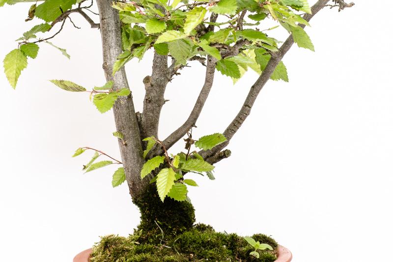 Orientalische Hainbuche (Carpinus orientalis)