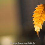 Laub einer Zelkove im November