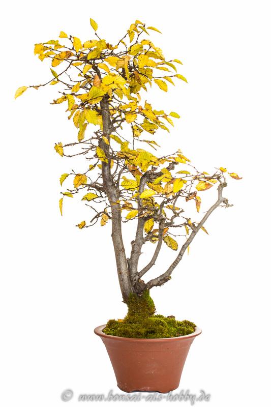 Carpinus orientalis im Herbst