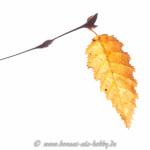 Laub Carpinus orientalis im Herbst