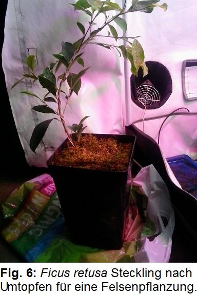 Pflanzenzelt Fig. 6