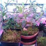 Pflanzenzelt für Bonsai