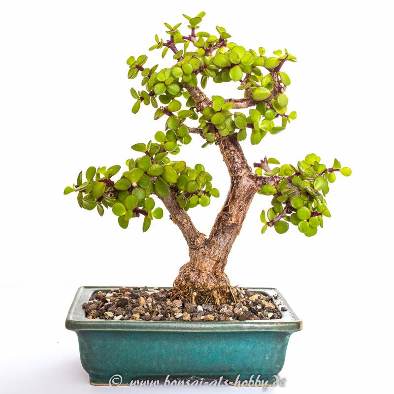 Speckbaum (Portulacaria afra) Bonsai 2014