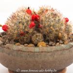 Akzentpflanze Mammilaria prolifera