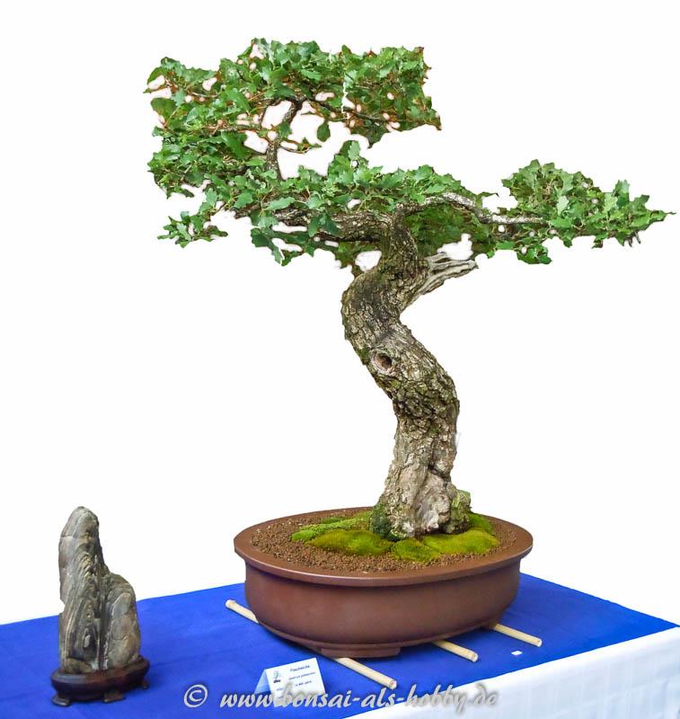 400 Jahre alte Flaum-Eiche (Quercus pubescens)