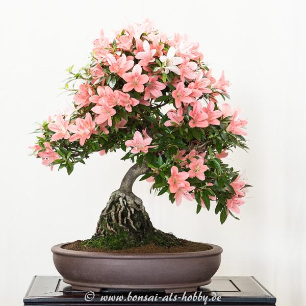 bonsaiausstellung des ak aichtal filder   bonsai