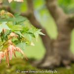 Nahaufnahme Acer palmatum