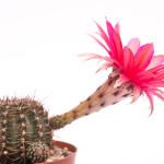 Echinospsis Hybride Rubin von Muggensturm