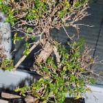 Junischnee mit Blattverlust