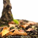 Herbstzeit - Korkrindenulme