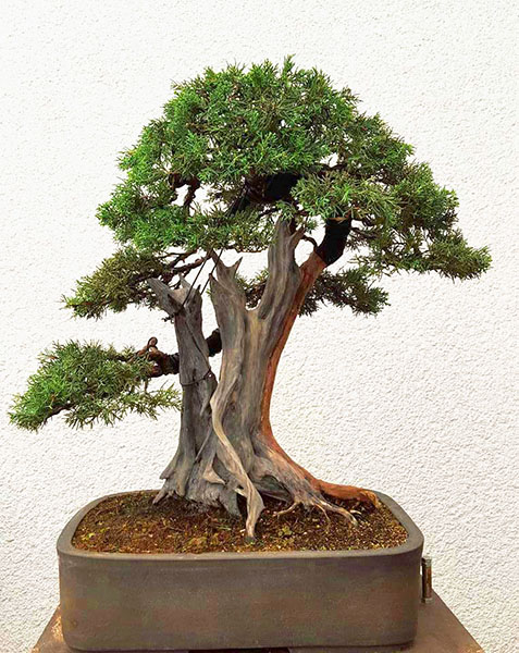 Juniperus chinensis von Andrea Junger